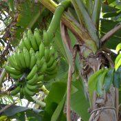 De bananenplant bij Ka'i Mimina