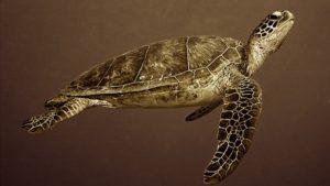 Green-turtle-Chelonia-mydas
