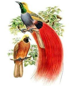 Paradijsvogel Wikipedia